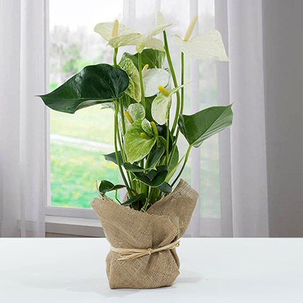 White Anthurium Jute Wrapped Potted Plant: Happy Diwali Flowers