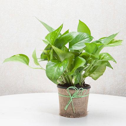 Money Plant PH: