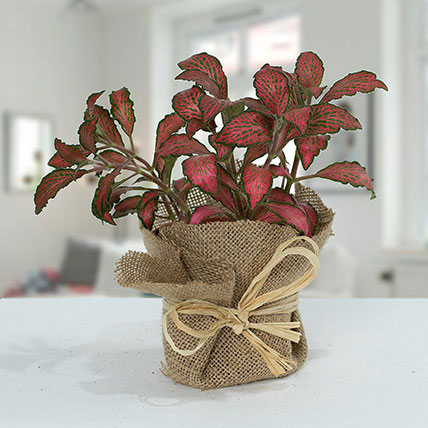 Lovely Fittonia Plant N Jute Wrapped Pot: