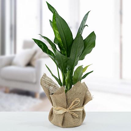 Jute Wrapped Aglaonema Plant: