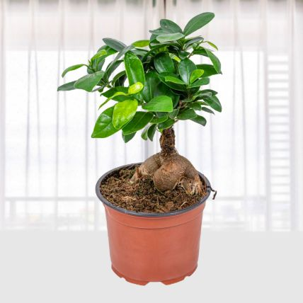 Ficus Ginseng: Send Gifts to Qatar