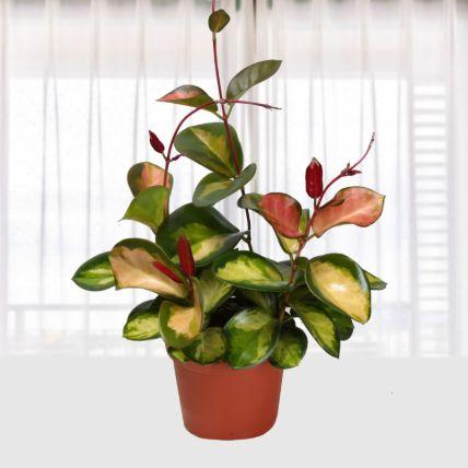 Hoya Carnosa Tricolor: