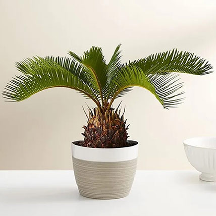 Sago Palm Plant: Plants For USA