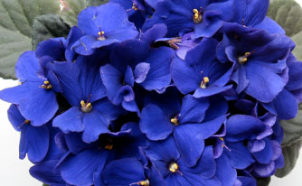 African-violets
